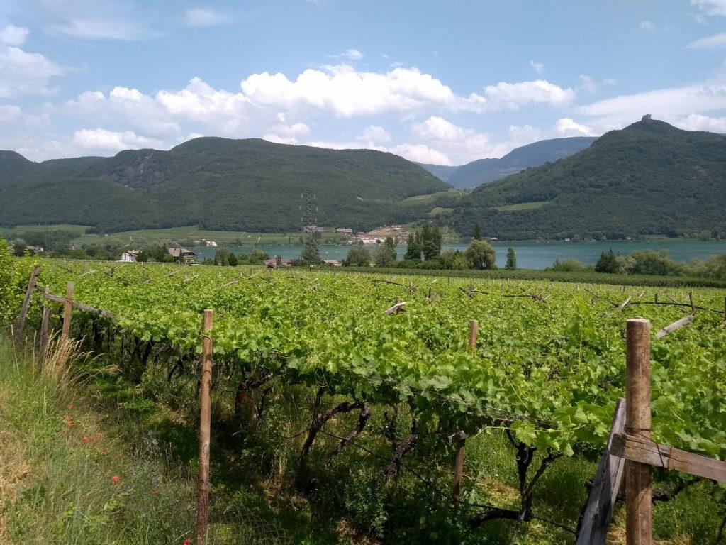 Blick über Weinreben auf den Kalterer See.